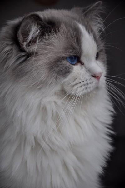 1_ragdoll_hodowla_wrocław_poland_kittens_rag_a_03_blue_bicolour