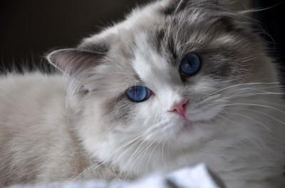 21ragdoll_blue_bicolour_rag_a_03_hodowla_avocado_wrocław_poland_fife