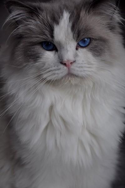 2_ragdoll_hodowla_wrocław_poland_kittens_rag_a_03_blue_bicolour