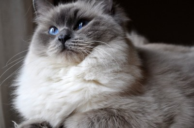 3 Ragdoll Blue Point RAG a hodowla kotow avocado