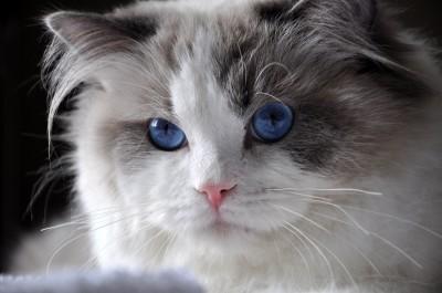 31ragdoll_blue_bicolour_rag_a_03_hodowla_avocado_wrocław_poland_fife