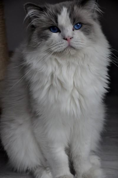 3_ragdoll_hodowla_wrocław_poland_kittens_rag_a_03_blue_bicolour