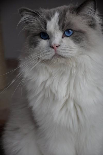 4_ragdoll_hodowla_wrocław_poland_kittens_rag_a_03_blue_bicolour