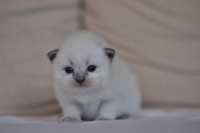 5_Ragdoll_kittens_poland_wroclaw_hodowla_avocado_RAG_a_blue_point_kocięta_ragdoll_na_sprzedaż