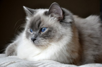 Ragdoll Blue Point RAG a hodowla kotow avocado