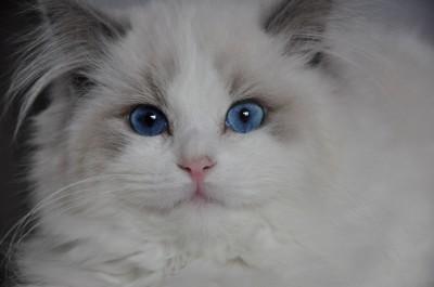 ragdoll-blue-bicolour-lynx-hodowla-wrocław-avocado-pl-poland-cattery-kittens-for-sale-2 (Kopiowanie)