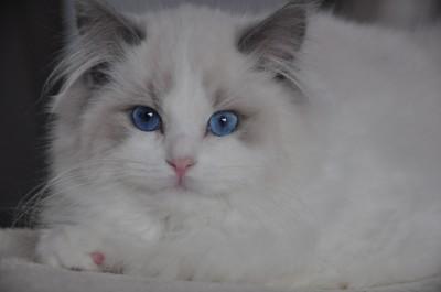 ragdoll-blue-bicolour-lynx-hodowla-wrocław-avocado-pl-poland-cattery-kittens-for-sale-9 (Kopiowanie)