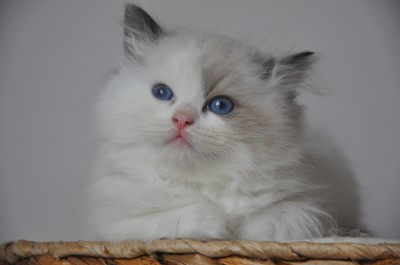 ragdoll-seal-bicolour-hodowla-avocado-wroclaw-poland-fife-pedigree-kittens-for-sale-11(Kopiowanie)