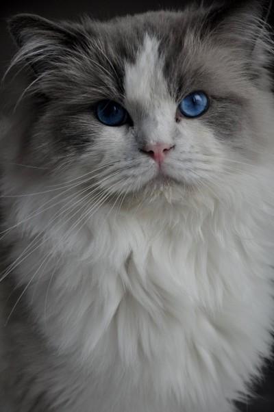 ragdoll_hodowla_wrocław_poland_kittens_rag_a_03_blue_bicolour