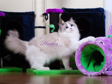 2 Hades koc-pol-cat of avocado ragdoll blue bicolor