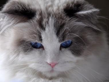 41ragdoll_blue_bicolour_rag_a_03_hodowla_avocado_wrocław_poland_fife