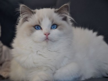ragdoll blue bicolour hodowla avocado ragdoll cattery poland available kittens the best ragdolls. 1 (Kopiowanie)