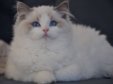 ragdoll blue bicolour hodowla avocado ragdoll cattery poland available kittens the best ragdolls. 2 (Kopiowanie)