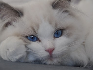 ragdoll blue bicolour hodowla avocado ragdoll cattery poland available kittens the best ragdolls. 3