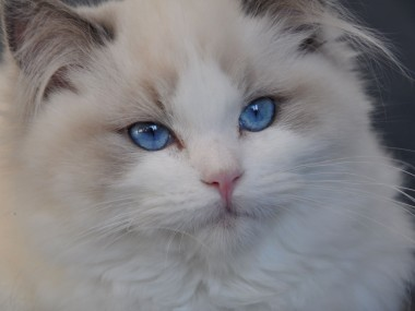 ragdoll blue bicolour hodowla avocado ragdoll cattery poland available kittens the best ragdolls. 4