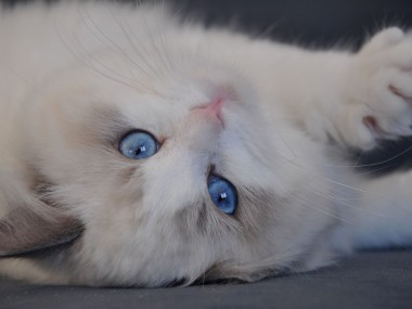 ragdoll blue bicolour hodowla avocado ragdoll cattery poland available kittens the best ragdolls. 5