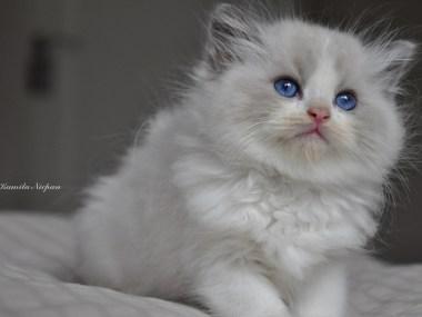 hodowla_avocado_ragdoll_blue_bicolour_ragdoll_cattery_poland_wrocław_kittens_kocięta_1_www.rag-dolls.pl_3 (Kopiowanie)