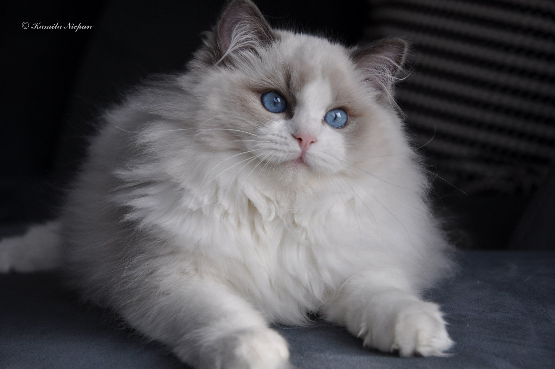 5-ragdoll-blue-bicolour-avocado-cattery-the-most-beautiful-cats-wroclaw-poland-rag-a-03